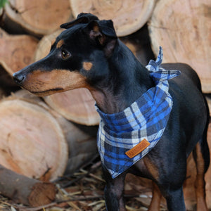 Blue flannel dog bandana, check dog bandana, blue dog bandana, dog gift, check dog bandana, plaid dog bandana, hipster dog bandana, cool dog bandana,dog bandana australia, pethaus, english toy terrier