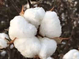 Stay Away From COTTON!!!