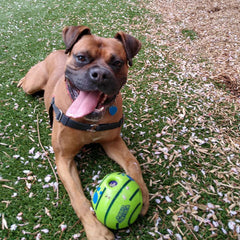 Meet Mangar, adult male dog available for adoption in Sultan, WA