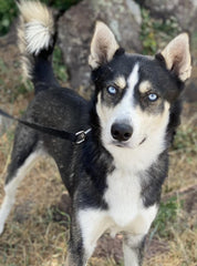eet Balto Adult Male Husky available for adoption in Glenwood Springs, CO