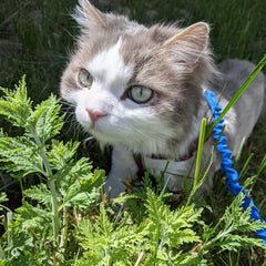 Meet Boots, Adult Male DLH cat available for adoption in Glenwood Springs, CO