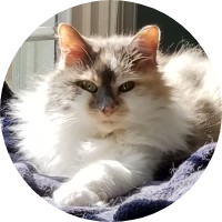 Samantha the Dilute Calico Cat