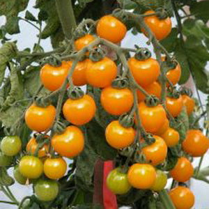 Galina Cherry Tomato