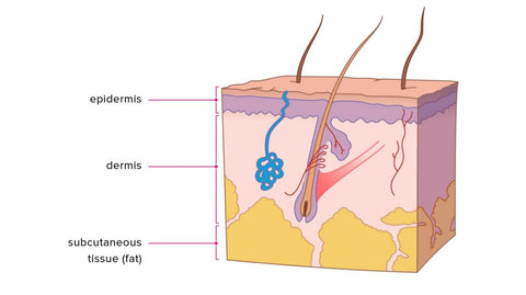 Human Skin Cell Layers, including the Epidermis, the Dermis and the Hypodermis