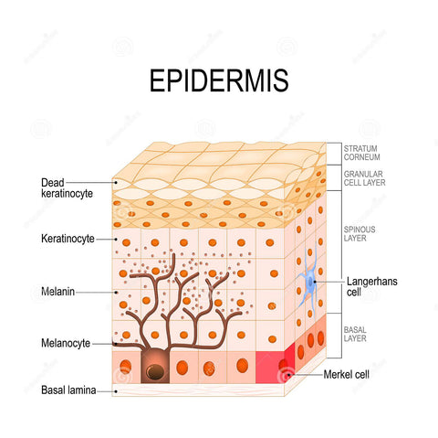 Diagram of the Human Epidermis Skin Cells