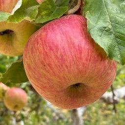Apples- Organically grown