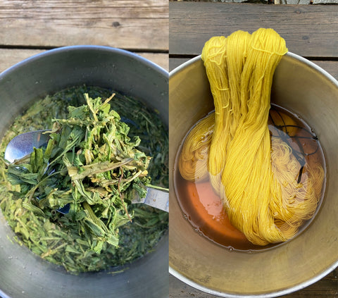 weld in large pot, yellow yarn dyed from weld in large pot