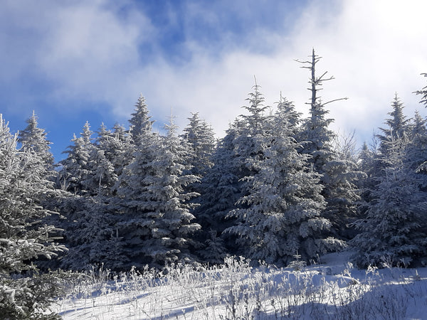 Snow-covered trees on top of Mt. Le Conte