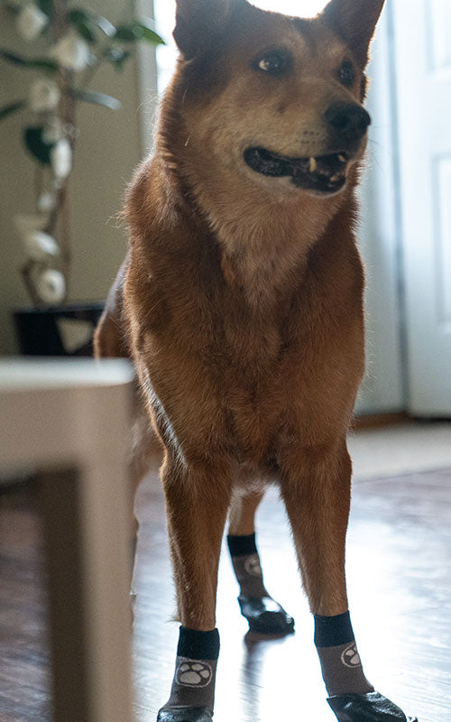 German Shepard mix with Grippers on paws