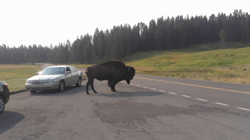 Bison as big as a car