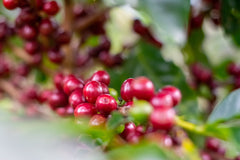 More coffee cherries