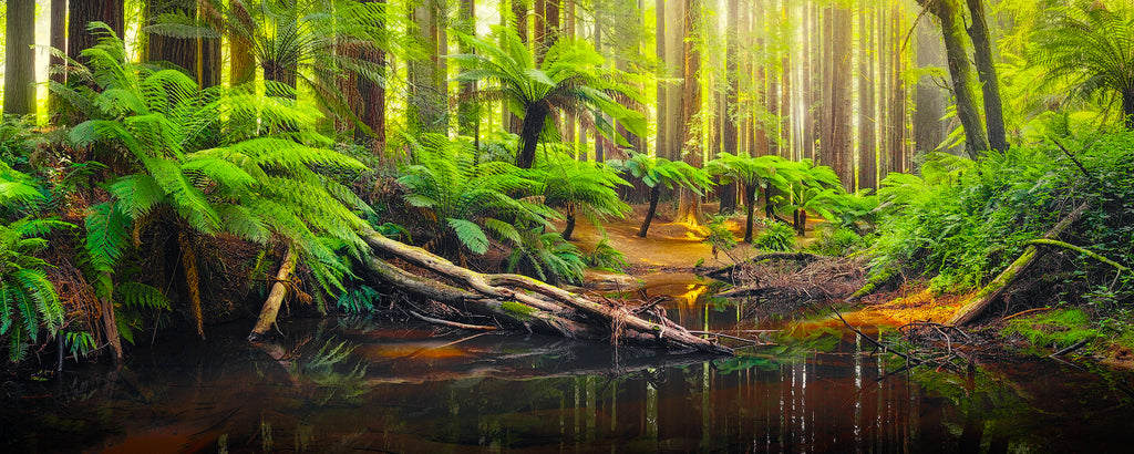 Forest in the Otway Ranges, Victoria