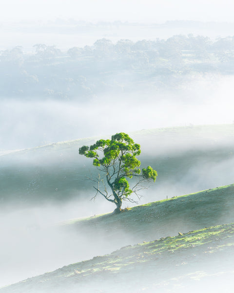 Fog surrounding a tree in the Adelaide Hills