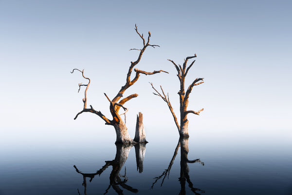 Dead trees at Lake Bonney, South Australia