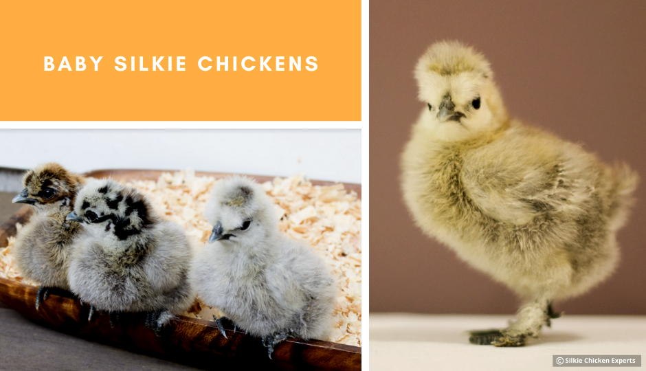 appearance of baby silkie chickens