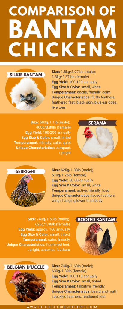 Bantam chicken breed comparison chart of silkie bantam chicken, serama, sebright, booted bantam, and belgian d'uccle - infographic