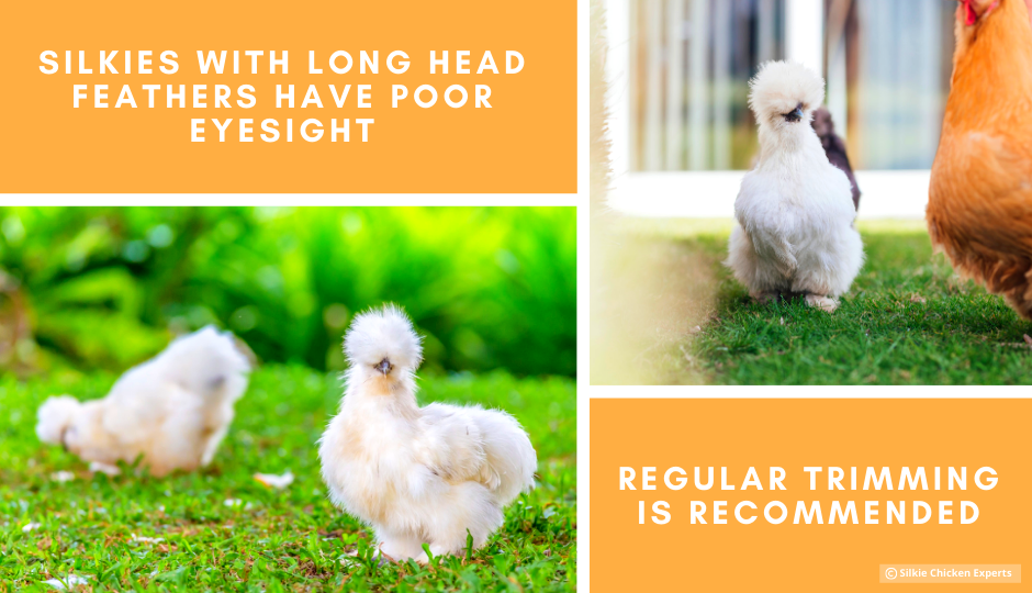 bearded white silkie chicken with long head feathers