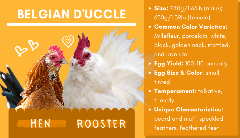 Belgian d'Uccle bantam chicken and rooster facts chart