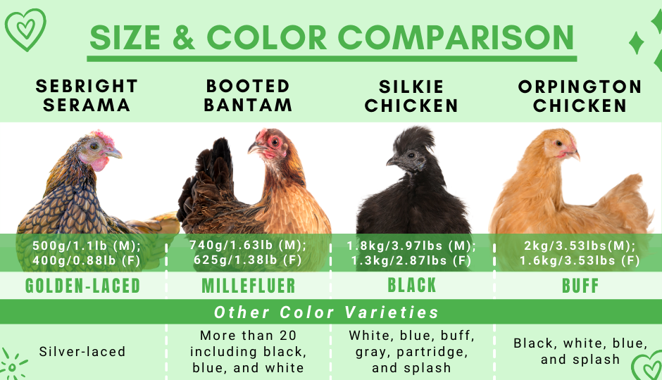 Black silkie chicken size and color comparison with sebright serama, booted bantam, and orpington chicken