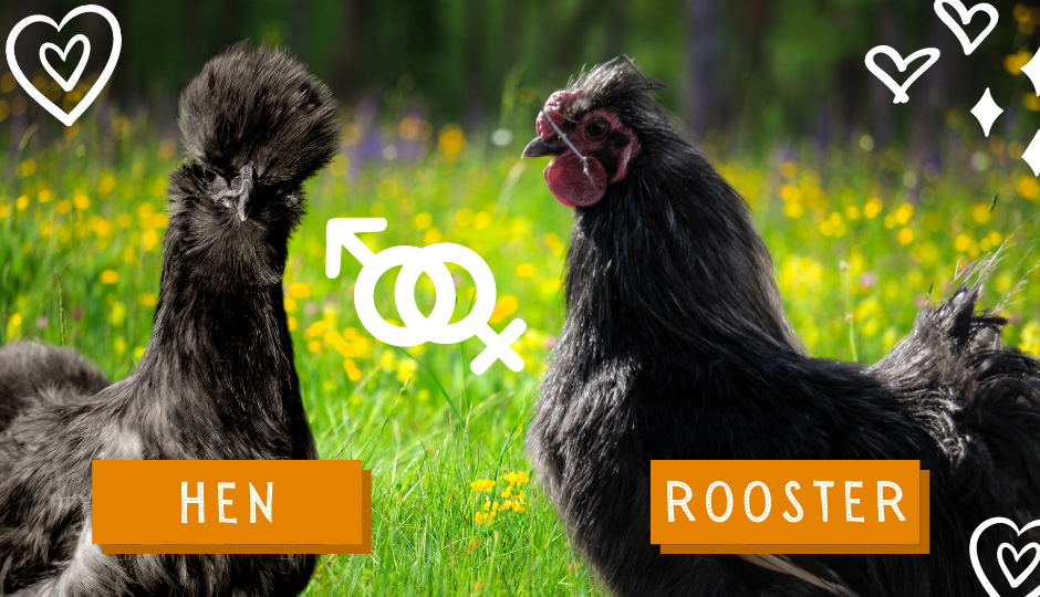 Black silkie chicken and rooster appearance comparison