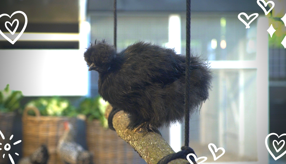 black silkie chicken sitting on a roost