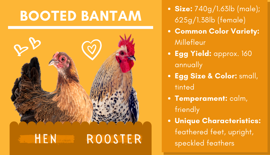 Booted Bantam or 'Sabelpoot' chicken and rooster facts chart