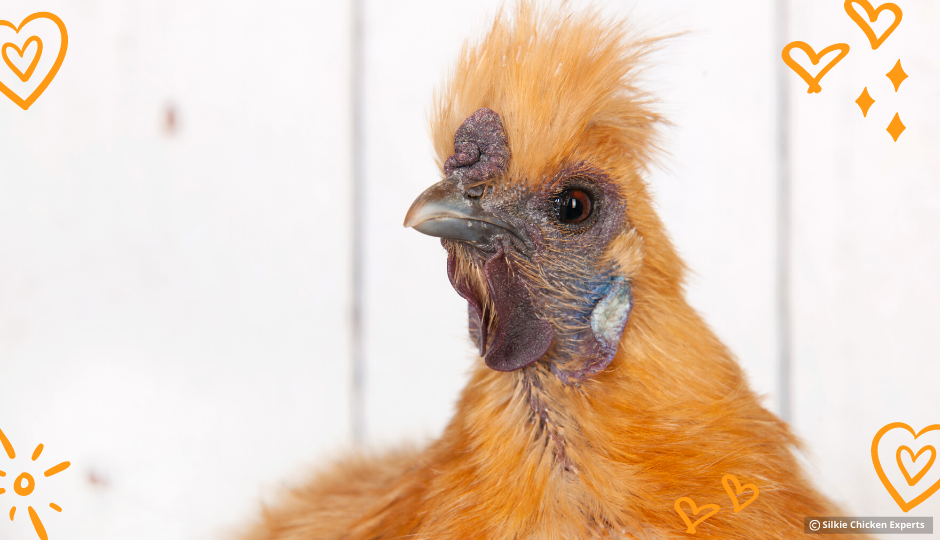 buff silkie chicken looking inquisitive
