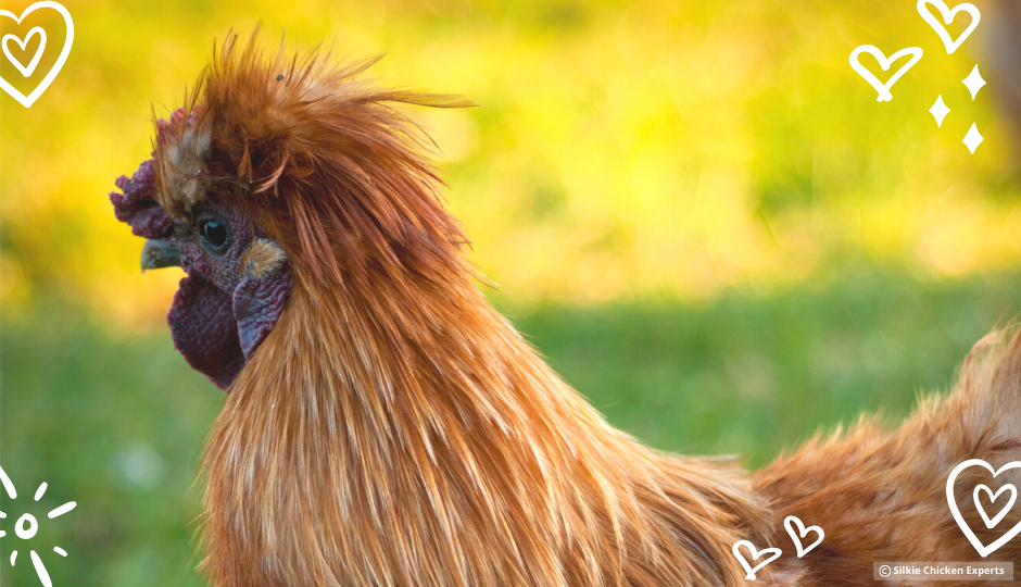 buff silkie rooster free ranging on grass
