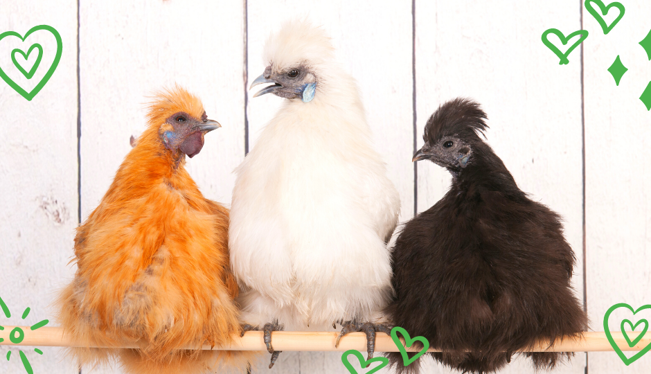 Buff, white, and black silkie bantam chickens roosting on a perch together