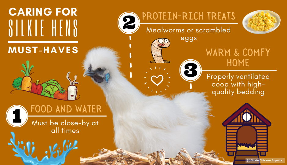 caring for silkie hen infographic