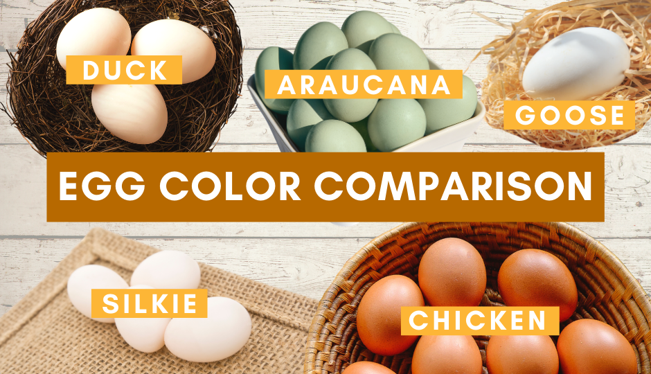 Colored egg comparisons of silkie eggs, duck eggs, chicken eggs, araucanan chicken eggs, and goose eggs
