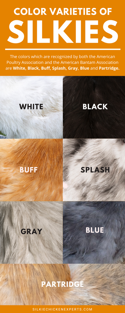 Color varieties or breed standards of silkie chickens infographic
