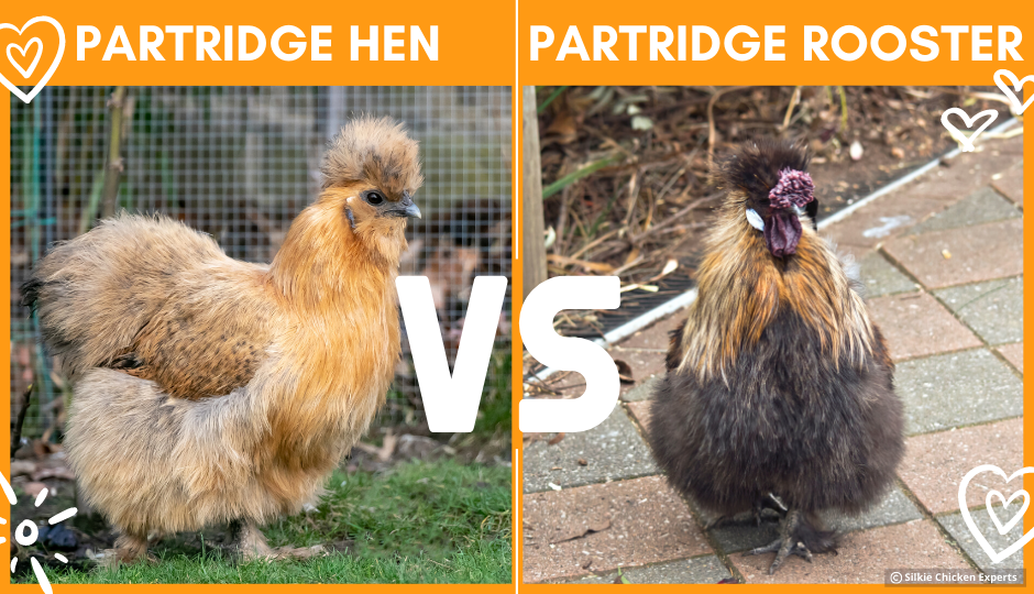 comparison of partridge hen and rooster