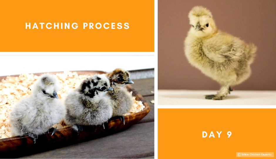 day nine hatching process of silkie chicks