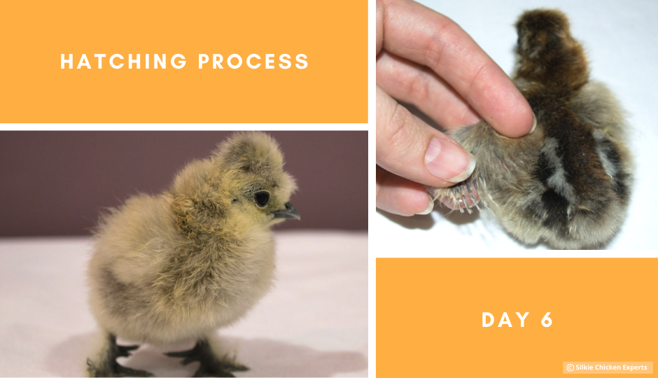 day six hatching process of silkie chicks