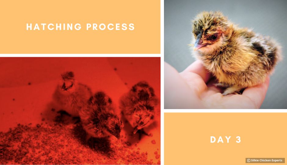 day three hatching process of silkie chicks