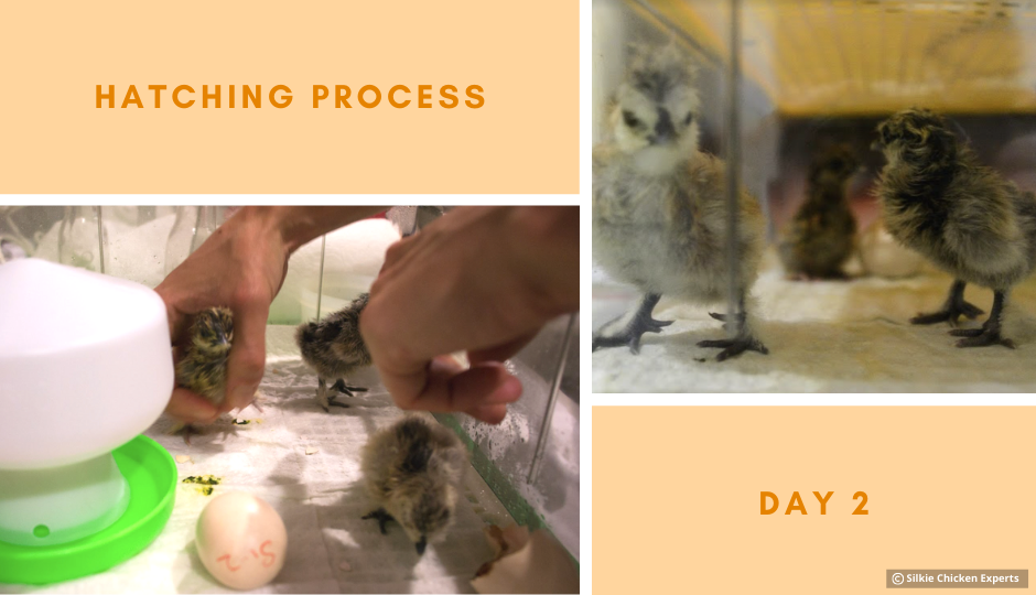 day two hatching process of silkie chicks
