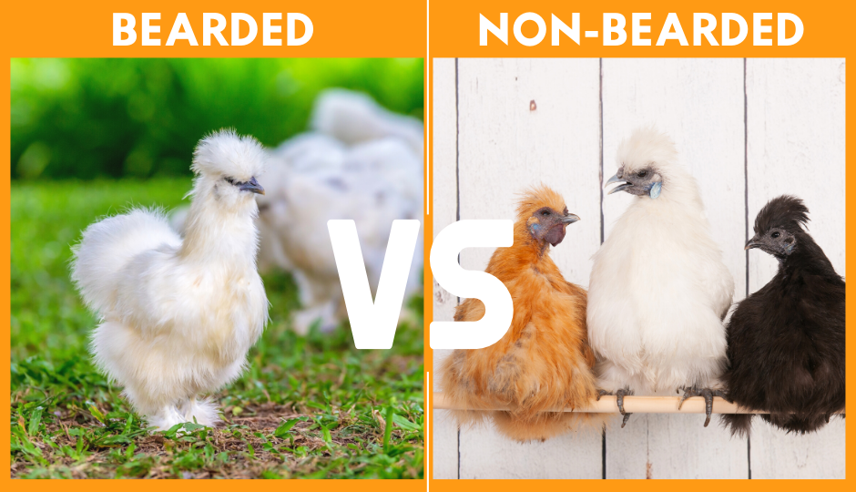 difference between bearded and non bearded silkie chickens