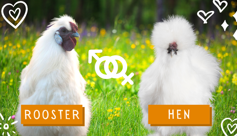 Difference between silkie bantam chicken and rooster
