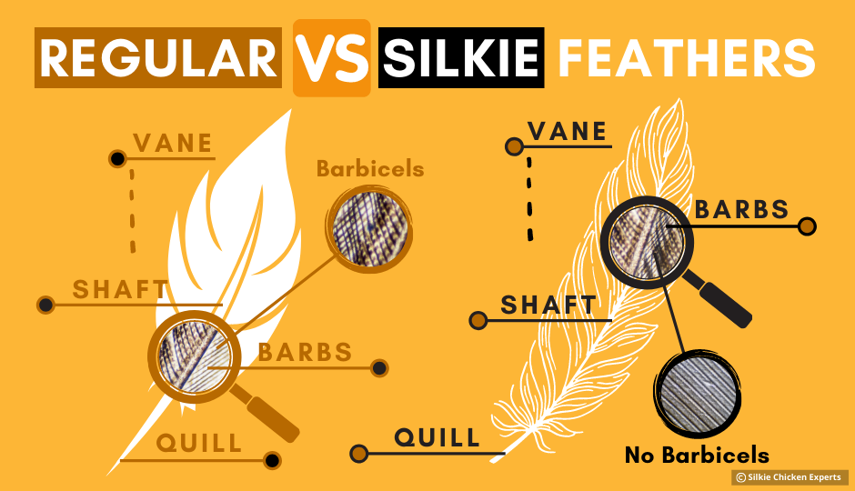 difference between silkie chicken feathers and regular chicken feathers