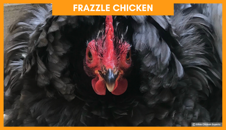 frazzle chicken looking at the camera