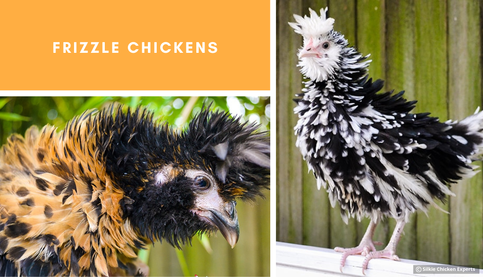 frizzle chickens showing off their amazing feathers