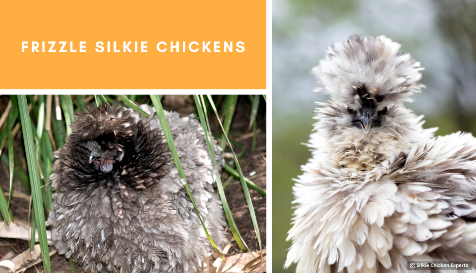frizzle silkie chickens showing off their amazing feathers
