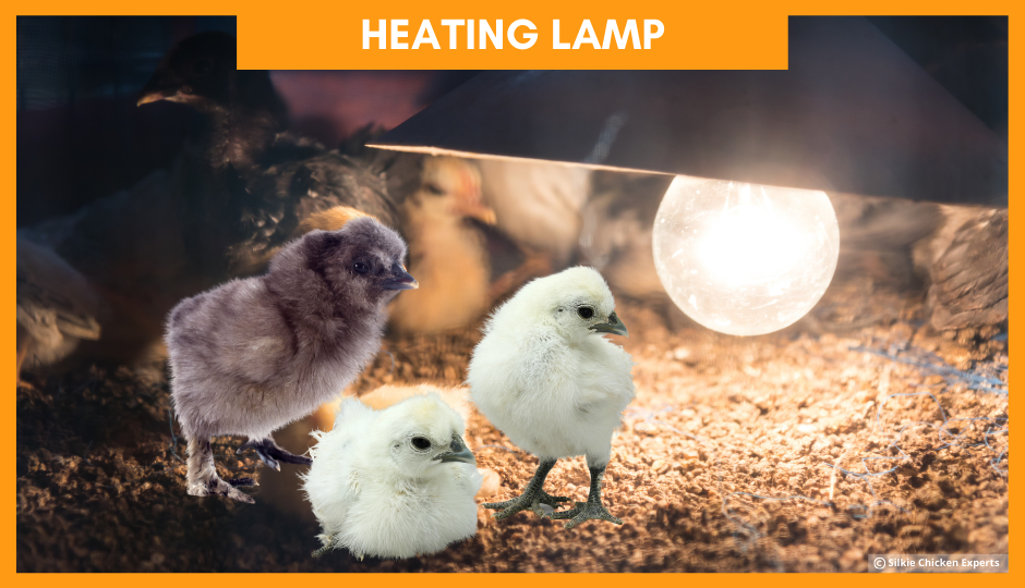 heating lamp for baby silkie chickens