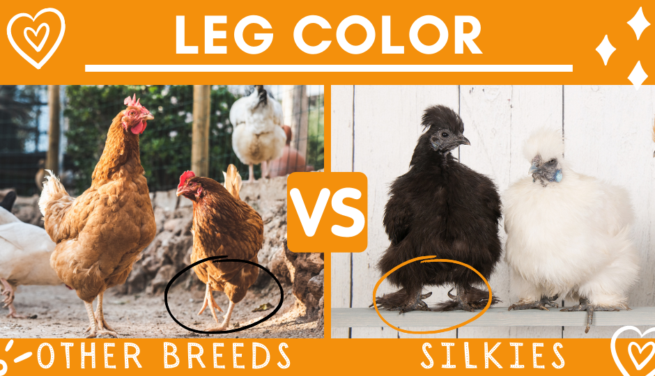 Leg color of black silkie chickens versus other chicken breeds