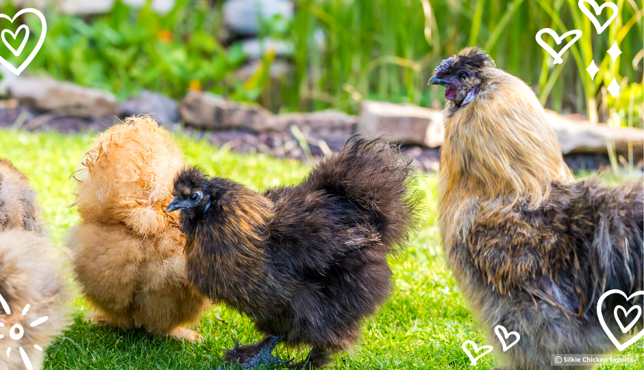 partridge silkie chickens and rooster free ranging in the garden