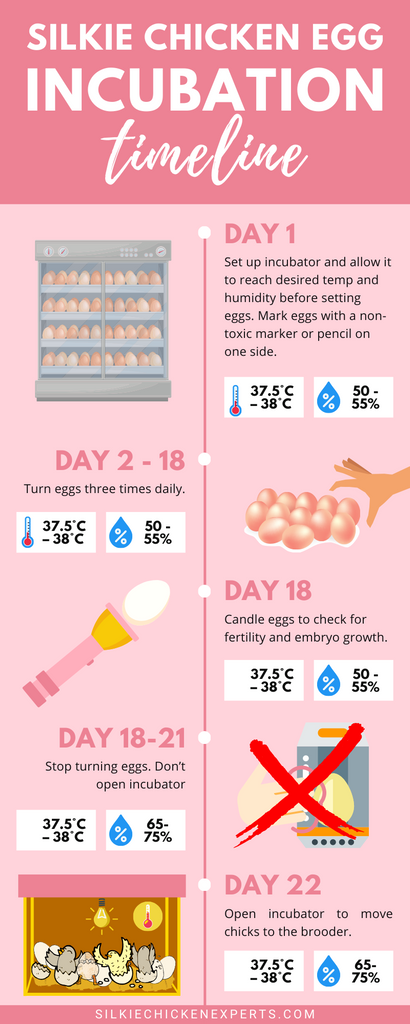 silkie chicken egg incubation timeline infographic