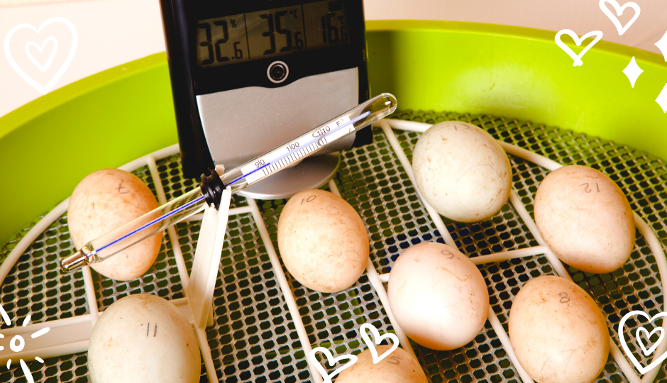Silkie chicken eggs in an automatic egg incubator