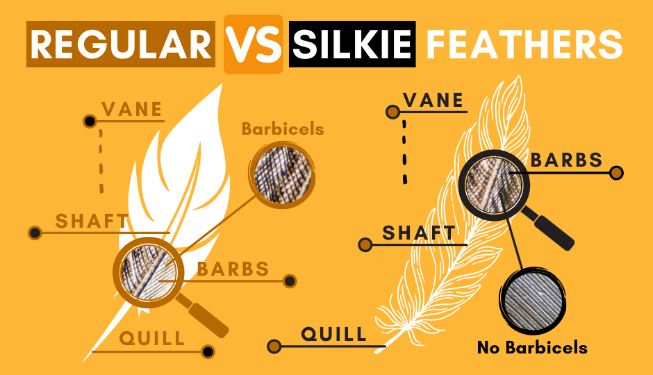 difference of silkie chicken feathers versus regular chicken feathers