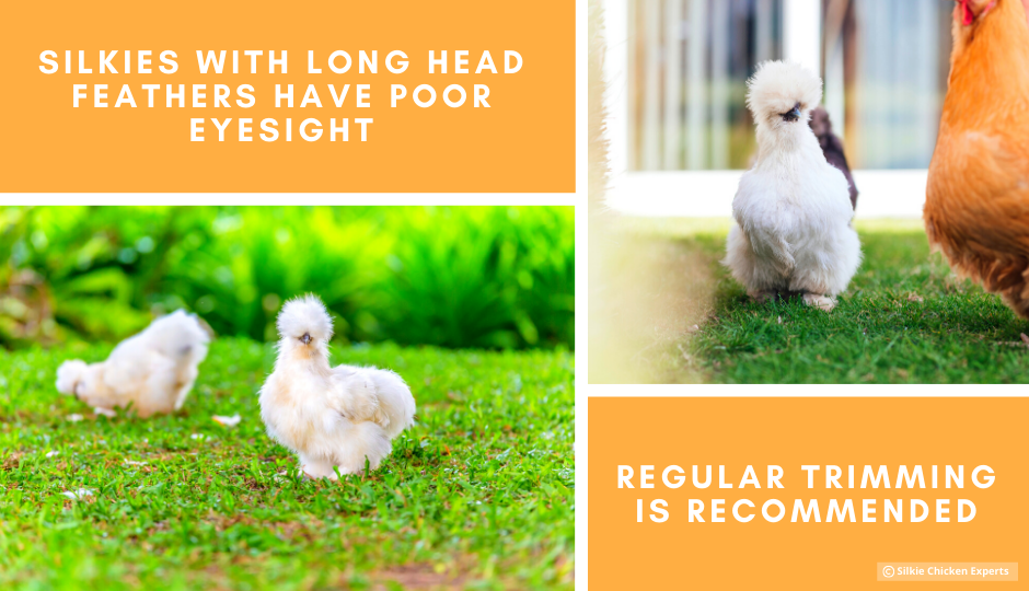 white silkie chickens with long feathers free ranging on grass